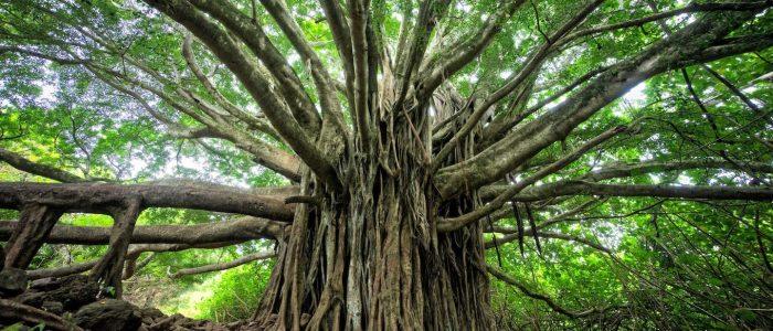 giant tree growth
